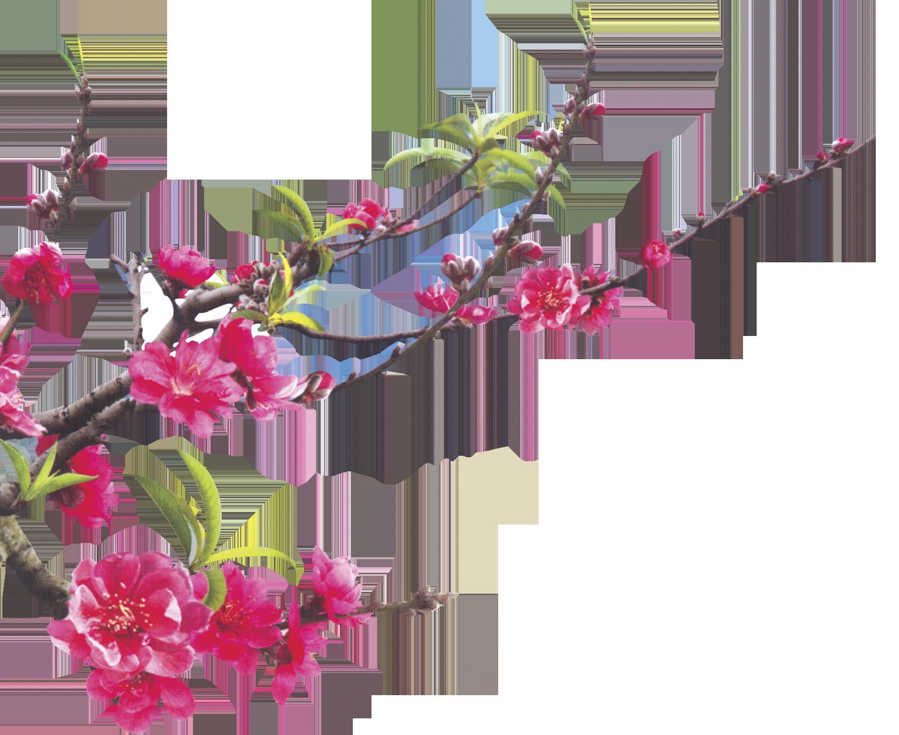 Hình ảnh hoa đào file tách nền 3