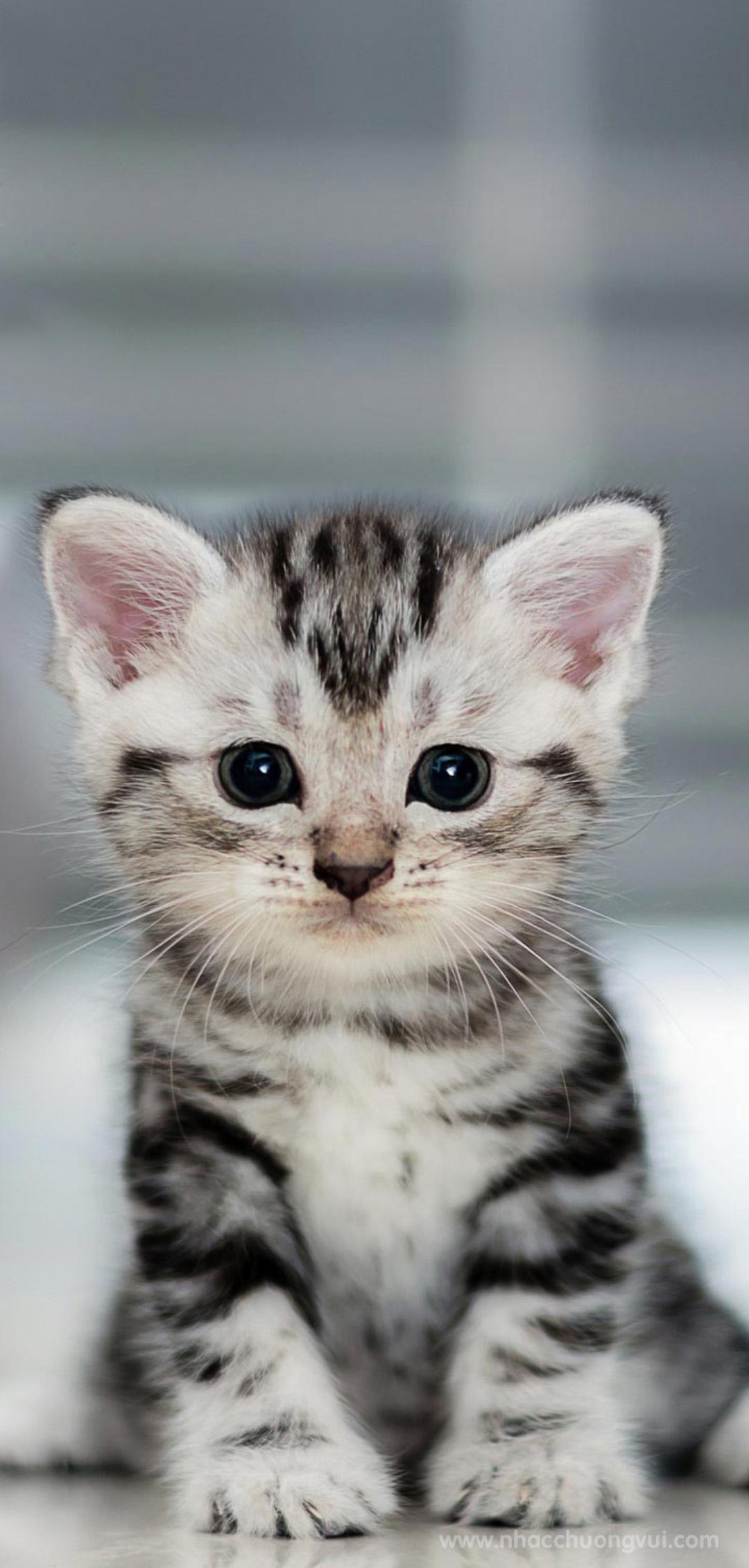 Hình nền mèo cute cho điện 24
