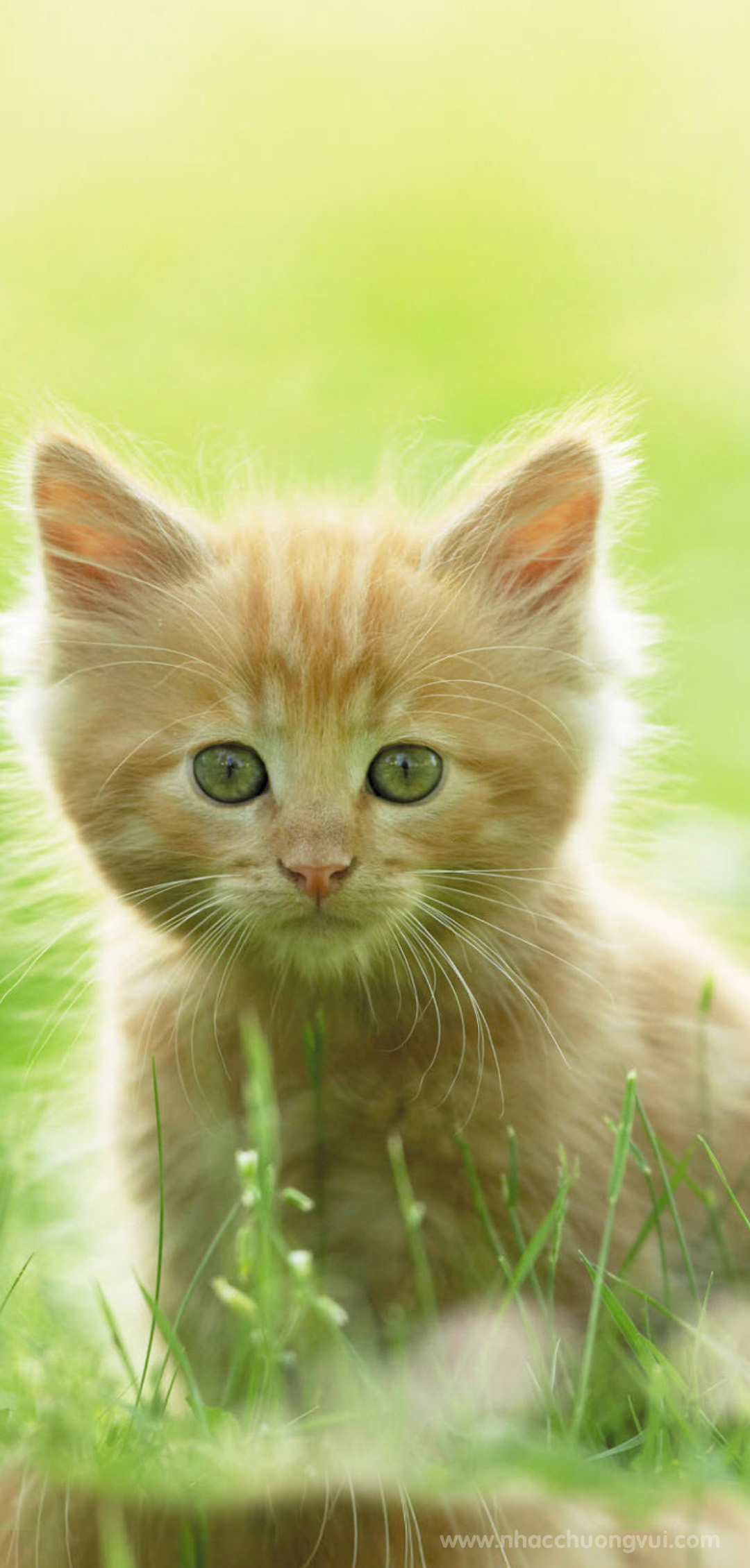 Hình nền mèo đẹp cho điện thoại 4